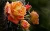 Orange Rose..............