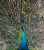 Peacock - Birdpark Kuala Lumpur - Malaysia
