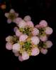 Tea-Tree flowers