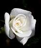 Delicate White 2.........