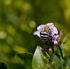 Blue Banded Bee...............