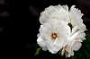 4 Rose Head............