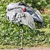 Australian Crane taking a nap