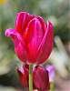 An Elegant Tulip.