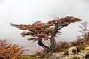 A bird and a big bonsai tree with fall colors in Patagonia