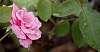 A Pink Rose............