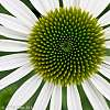 Echinacea in Detail