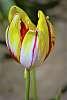 A Stand Alone Tulip.