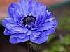 A Moody Blues Flower.