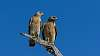 Red Shouldered Hawk couple