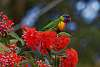 Colourfest: Rainbow Lorikeet on flowering gum
