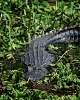 Gator Tail