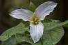 Trillium's are blooming.....