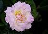 Pink edged petals