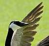 Attack Goose