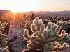 Cholla Cactus Sunrise