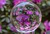 Crystal Ball Rhododendrons