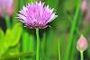 A Chive Flower.