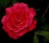 A Tangerine Rose