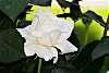 Pretty White Rose.