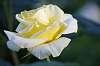 Very Nice Yellow and White Flower.