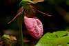 Orchid- Lady Slippers