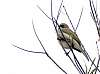 A small Honeyeater
