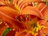 Perfect Orange Fłower