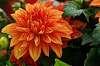 A very pretty orange dahlia.  I believe.