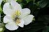A White Lily.