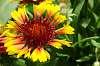 Coneflower. (Echinacea)