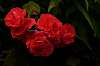 Pretty Red Flowers.