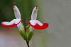 Two Very Pretty Hot Lips Flowers.
