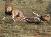 Lions in the Kalahari, South Africa