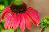 Lovely Coneflower.