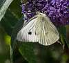 buddleia  butterfly and bee
