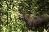 Juvenlie Bull Moose