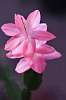 Very pretty bloom from Cactus Plant Flower.