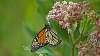 Mostly monarchs