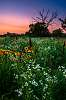 Wildflowers in the Twilight