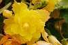 A Biggie, Yellow Flower.
