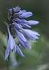 Hosta Buds & Flowers
