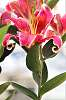 Stargazer Oriental Lily. Version II