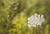 Daucus carota - Queen Anne's Lace