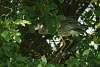 Lifer Juvenile Yellow-crowned Night Heron