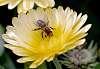 A Bee explores