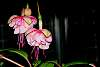 Two Hanging Fuchsias In The Night.