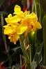 A beautiful Canna Lily.