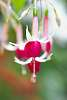The Minutia of Fuchsia.