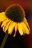 A Coneflower or Latin Name: Echinacea.
